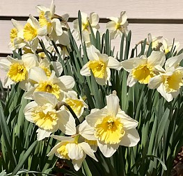 Daffodils have blossomed